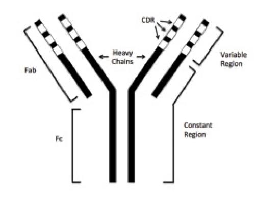 Calcitonin Gene-Related Peptide, Monoclonal Antibodies, and