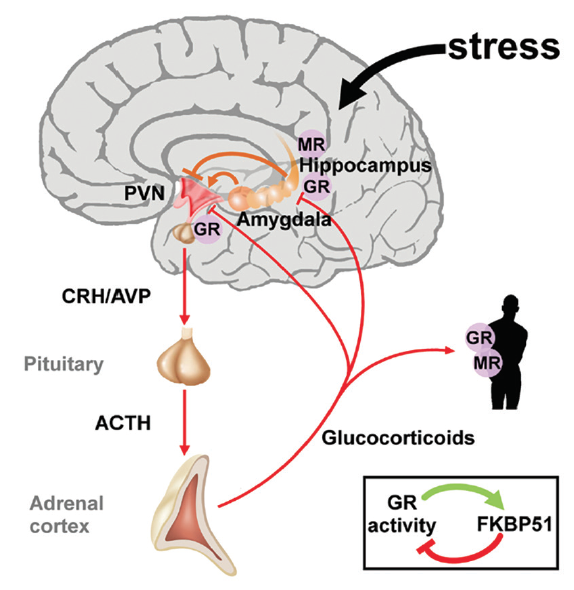Figure 1. The hypothalamic-pituitary-adrenal axis integrates and