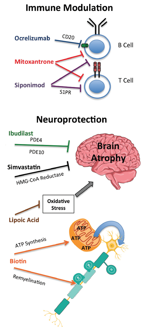 Figure. Therapies in use and under investigation for progressive multiple sclerosis are immunomodulators or neuroprotective agents with a variety of mechanisms of action as shown here.