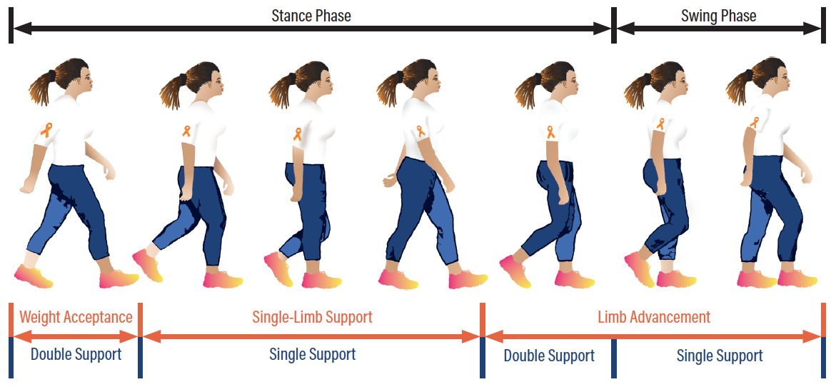 Figure 2. The gait cycle.