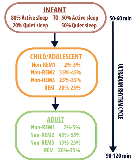 Figure 2. Ultradian rhythm cycle development shows evolution of sleep architecture and cycle length by age.